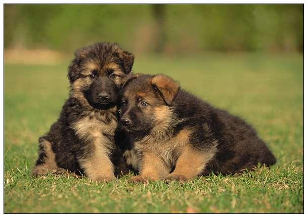 日本秋田犬面临灭绝 只因不如小型狗可爱和饲养不便 玉林宠物网站大全