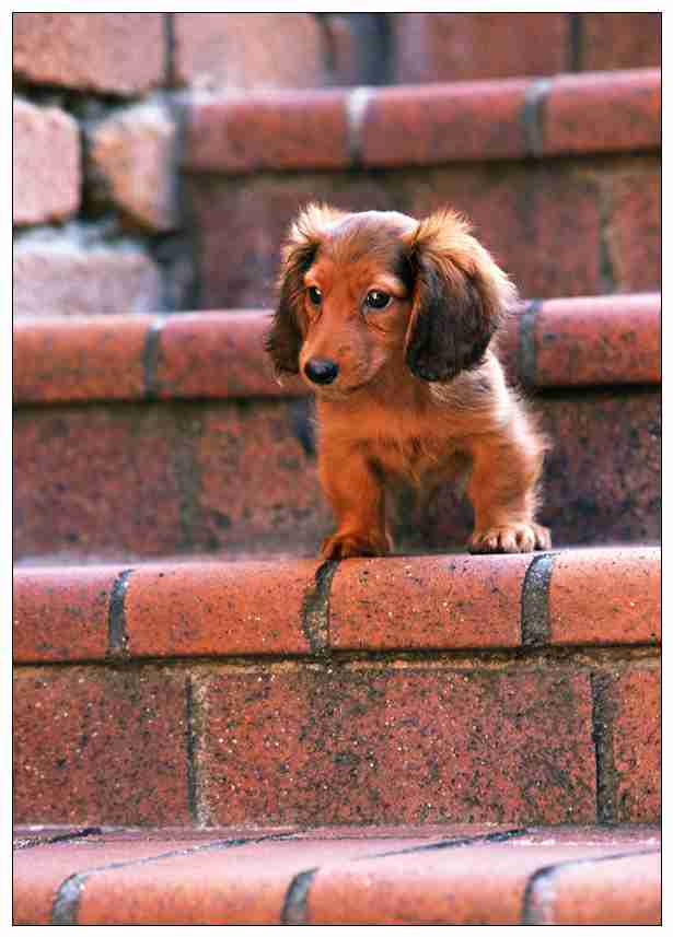 狗狗聪明排行榜和智商