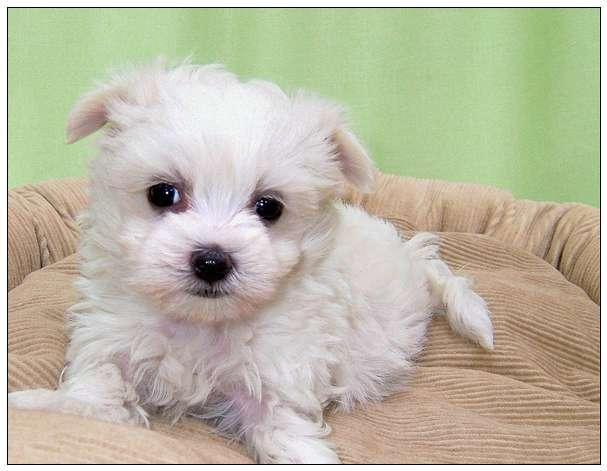 「图文推荐」关于卷毛寻猎犬的资料介绍 的图片