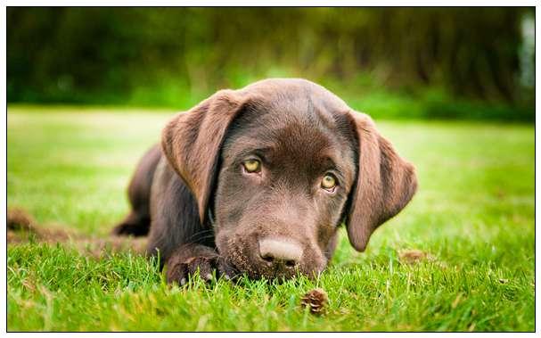狗狗饲养的十大冷知识 - 1 金毛犬的饲养