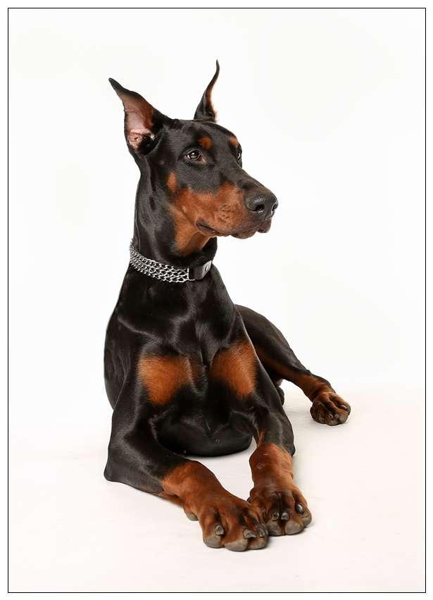 聪明的狗狗排行榜