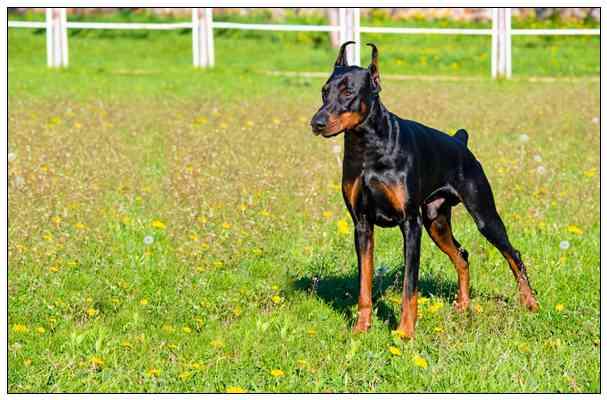 英国史宾格犬(En「组图」glish Springer Spaniel)品种介绍2