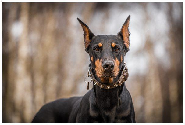 警犬也是强迫思维?出任务时专挑路面白线走 宠物好听的名字