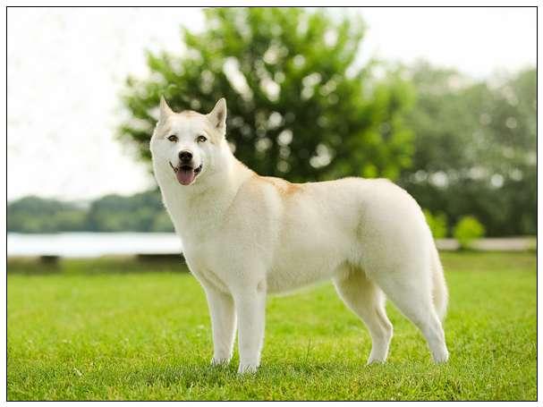 """爱犬被偷去做""""狗肉火锅""""主人当场发飙开车撞爆偷狗贼! 最可爱的宠物"""