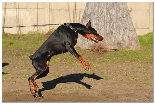 """狗界""""黑旋风""""——加纳利犬的习性及养护知识 狗狗搜搜"""