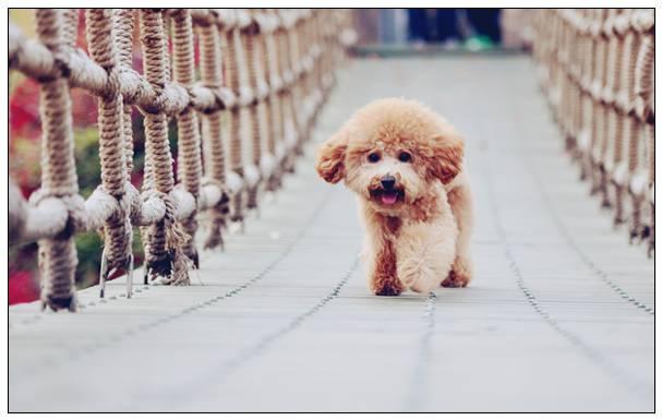 【美容攻略推荐】怎样帮宠物狗小型犬清理耳道
