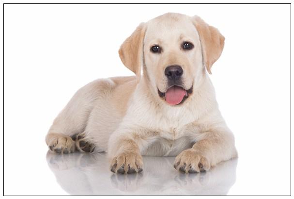 「组图」1,2,3个月的萨摩耶幼犬怎么喂养比较好