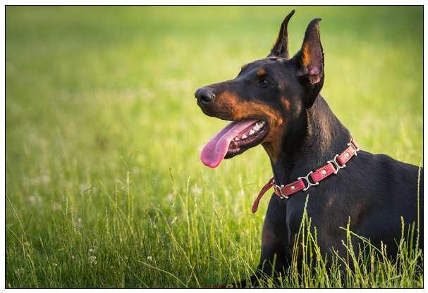 「图文推荐」关于戈登塞特犬的资料介绍 2