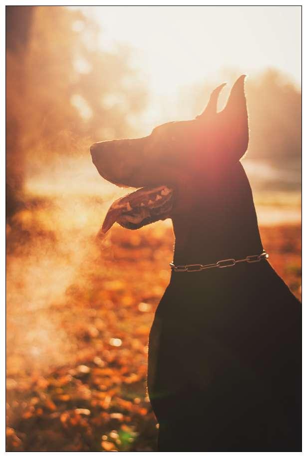 杜宾犬的美容护理技巧 巨星犬舍