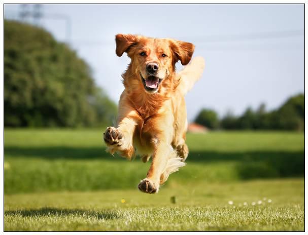 贝灵顿梗犬的美容技巧 贵妇犬图片