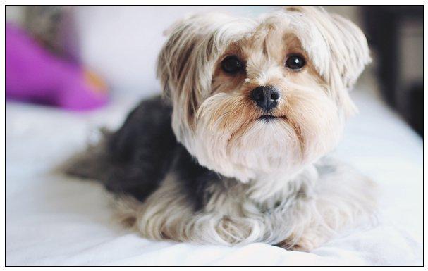 雪纳瑞犬品种狗狗