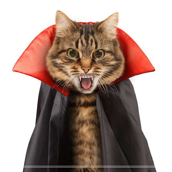 「图文」宠物品种阿比西尼亚猫的价格是多少钱?吃什么怎么养?