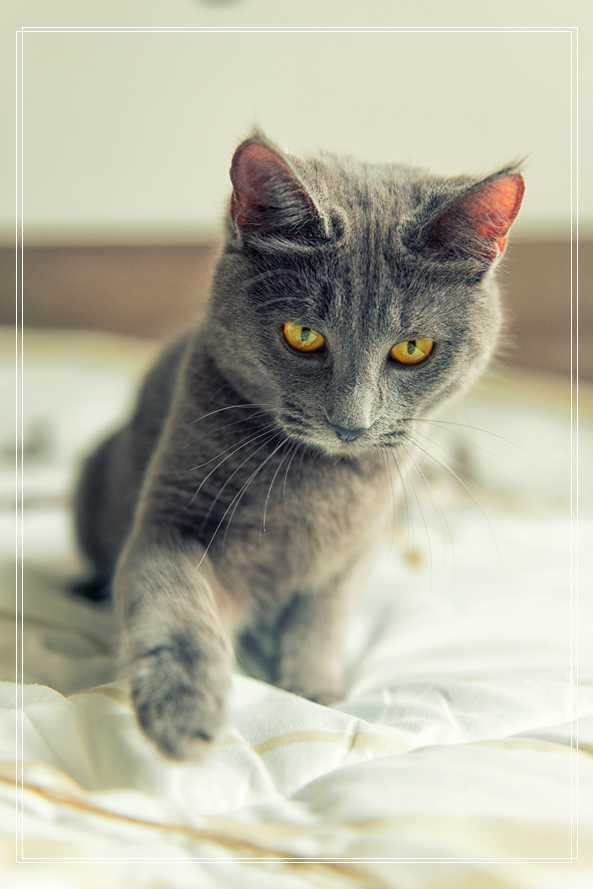 猫咪清洁中容易被忽略的细节 蓝猫优缺点
