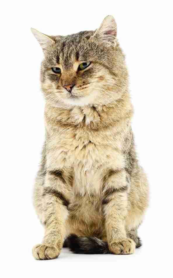 关于宠物品种猫咪没食欲的问题