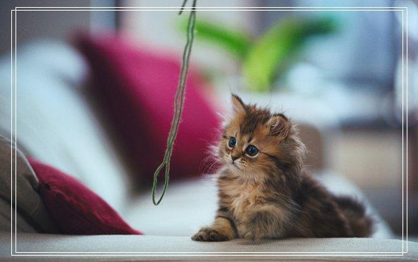 宠物猫之伯曼猫伯曼猫图伯曼猫好养小猫咪