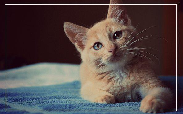 猫咪的基本美容有哪些 猫声音沙哑