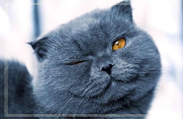 埃及猫的传说的白
