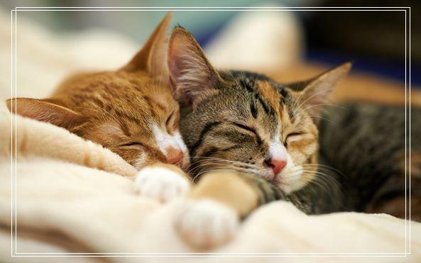 宠物猫之伯曼猫伯曼猫图伯曼猫好养吗两只