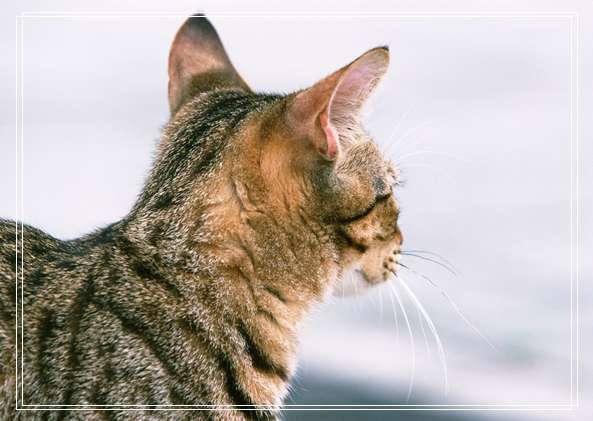 埃及猫的养护知识