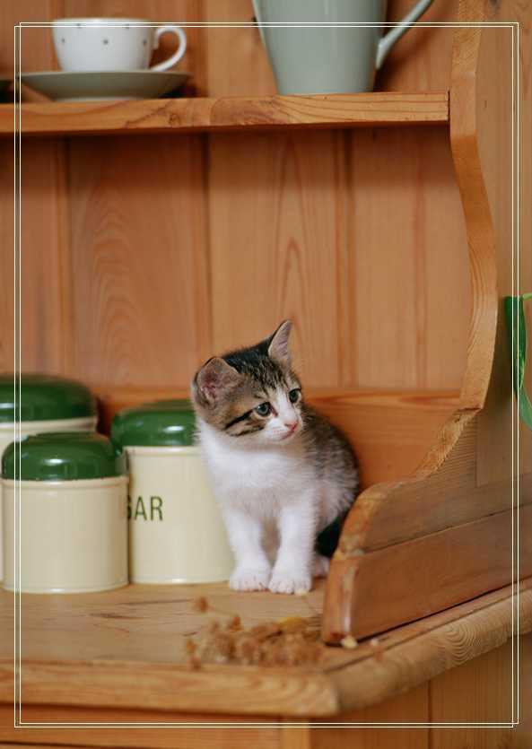 网购宠物猫咪的一些注意问题的