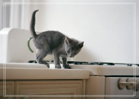 爱探险的英「图文」国短毛猫猫咪