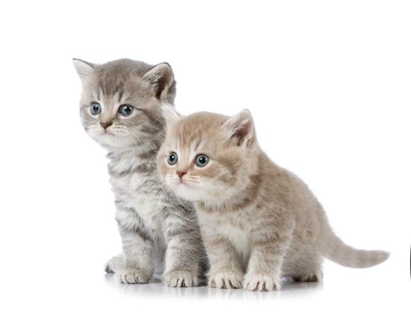 「图文推荐」如何选购山东狮子猫,狮子猫咪性格好不好?