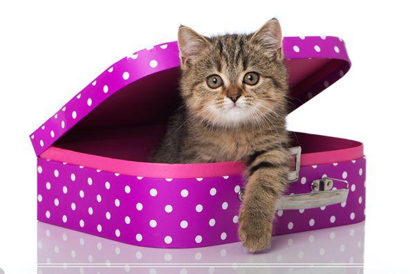 宠物猫之伯曼猫伯曼猫图伯曼猫好养可爱吗