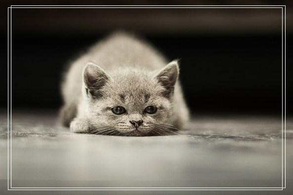 猫咪的宠物特性