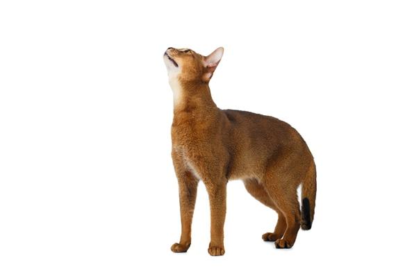 猫咪品种繁殖的几个注意问题