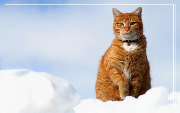 阿比西尼亚猫猫咪宠物品种简介及四种颜色的图片