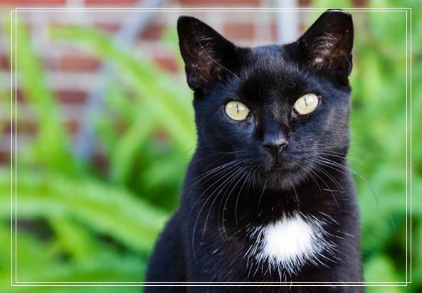 阿比西尼亚猫的形态特征如何