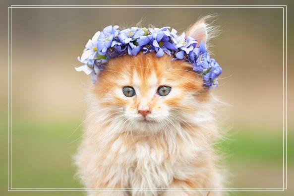 天使般的异国短毛猫