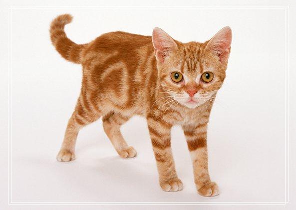 猫咪进化史:成为宠物源于何时?
