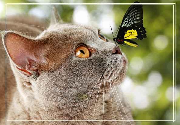 宠物品种猫咪知识的图片