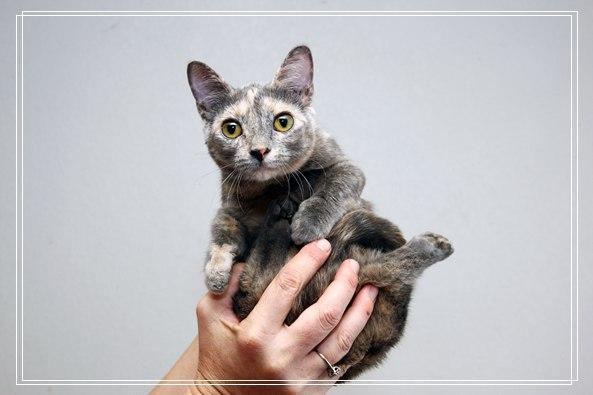 「图文」宠物伯曼猫猫咪选购指南
