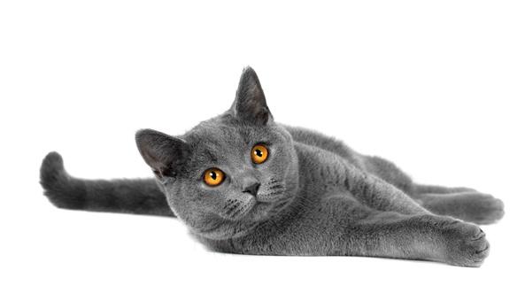 阿比西尼亚猫的性格特点二
