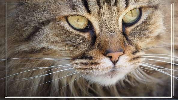 如何选购山东狮子猫
