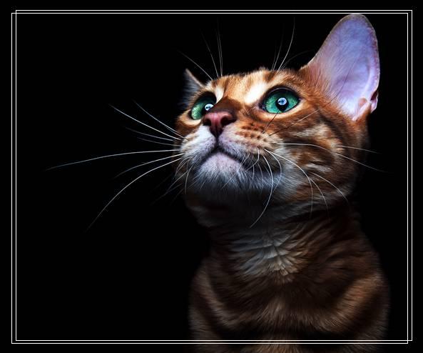 澳洲为了抢救原生物种 计划2020年前将扑杀200万只野猫 自贡宠物网站大全