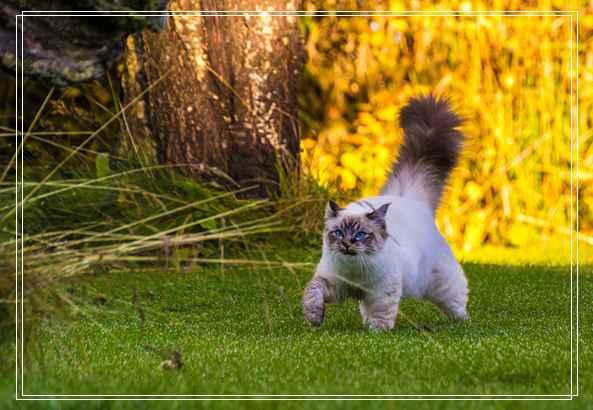 英国短毛猫的日常护理介绍 踩到猫