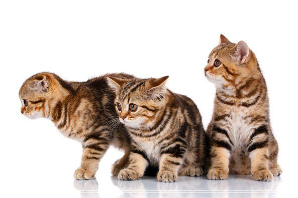 清理毛发是猫和主人每天必做的事 减肥猫