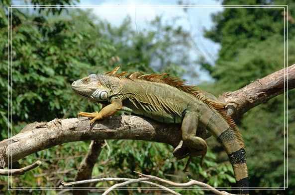 巴西龟幼龟的饲养方法 佛罗里达鳄龟