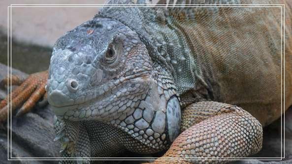 四眼斑水龟之谜 蜥蜴价格