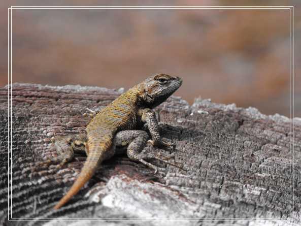 常见水龟的雌雄鉴别 果壳龟
