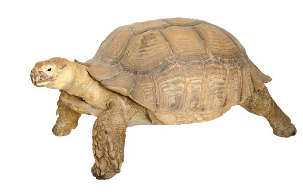 陆龟怎么养?