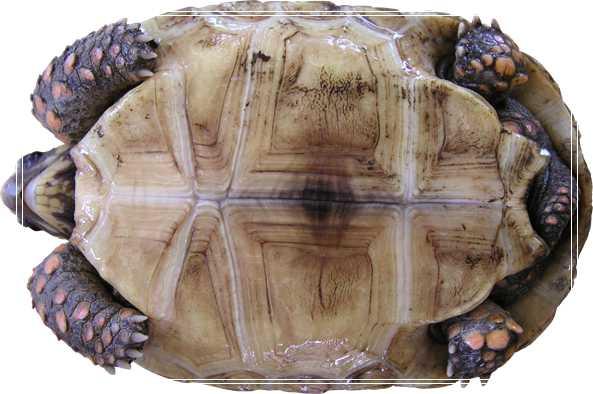 扁尾陆龟的养护方法 豹龟价格