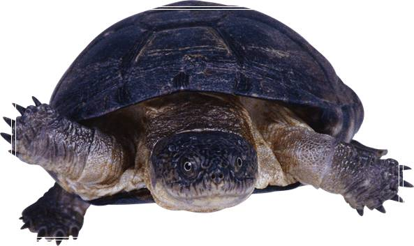 一个水龟半水龟家庭简易饲养环境介绍