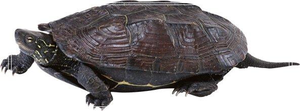 龟鳖高锰酸钾消毒法