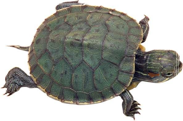 如何饲养健康的猪鼻龟 乌龟晒背灯