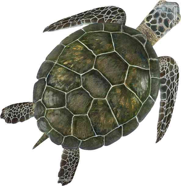 温度升高或造的雌性彩龟增多的图片