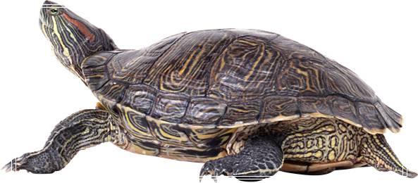 草龟饲养须知 蓝尾金蜥